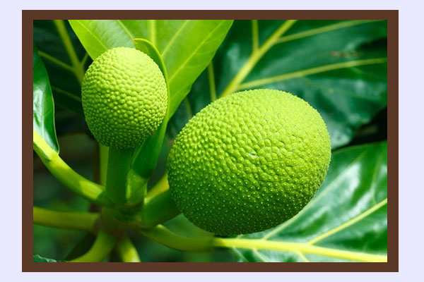 Breadfruit - high-fiber low-calorie foods for weight loss