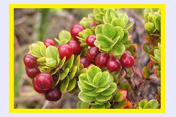 Filling low-calorie foods - Ohelo berries