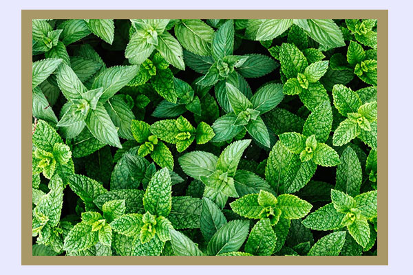 Spearmint - high-protein low-calorie foods for easy weight loss