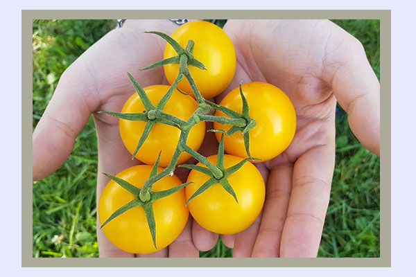 Yellow tomatoes - filling low-calorie foods for easy weight loss